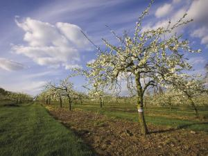 Blossom in the Apple Orchards in the Vale of Evesham, Worcestershire, England, United Kingdom by David Hughes