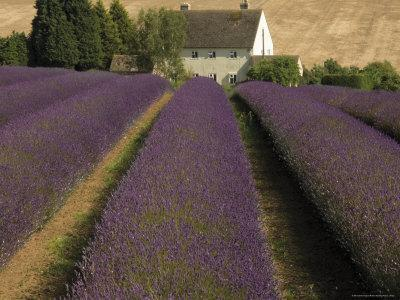 Snowshill Lavender Farm, Gloucestershire, the Cotswolds, England, United Kingdom