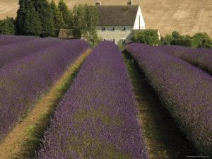 Snowshill Lavender Farm, Gloucestershire, the Cotswolds, England, United Kingdom by David Hughes