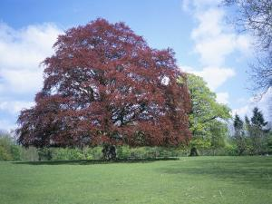 Copper Beech Tree, Croft Castle, Herefordshire, England, United Kingdom by David Hunter