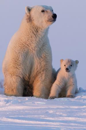 Polar Bear (Ursus Maritimus) and Cub, Wapusk National Park, Churchill, Hudson Bay, Manitoba, Canada