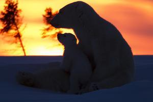 Polar Bear (Ursus Maritimus) and Cub, Wapusk National Park, Churchill, Hudson Bay, Manitoba, Canada by David Jenkins