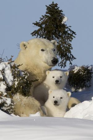 Polar Bear (Ursus Maritimus) and Cubs, Wapusk National Park, Churchill, Hudson Bay, Canada by David Jenkins