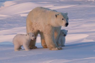 Polar Bear (Ursus Maritimus) and Cubs by David Jenkins