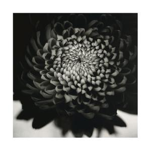 Untitled (Flower) by David Johndrow