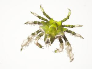 A Halimeda Crab Collected from a Sample of Coral Reef by David Liittschwager