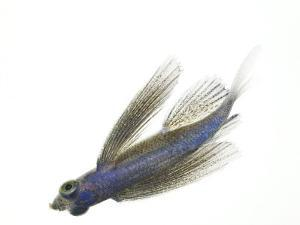A juvenile flying fish by David Liittschwager