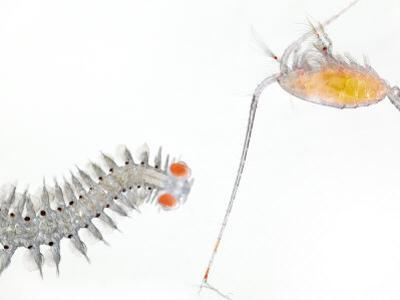 A large copepod shares surface waters with an adult polychaete worm