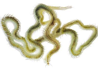 A Polychaete Worm Collected from a Sample of Coral Reef by David Liittschwager