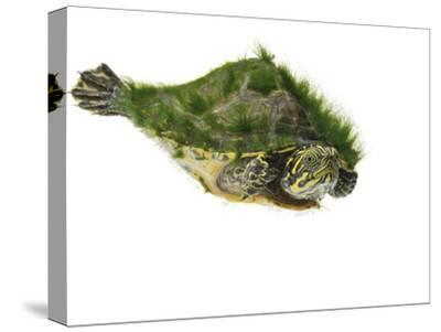 A river cooter turtle collected from a fresh water river sample.