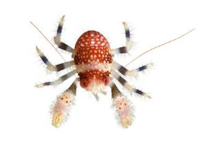 A Squat Lobster Collected from a Sample of Coral Reef by David Liittschwager