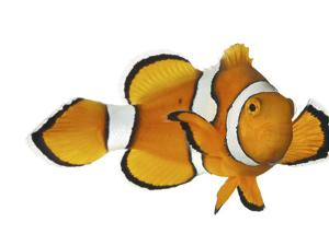 Acidified Water Impairs Clownfish Sense of Smell by David Liittschwager