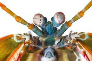 The eyes of a peacock mantis shrimp have an abundance of color receptors by David Liittschwager