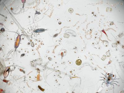 Under a Magnifier, a Splash of Seawater Teems with Life by David Liittschwager