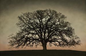 Majestic Oak by David Lorenz Winston