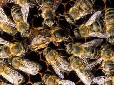 Honey Bees by David M. Dennis