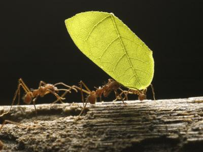 Leaf-Cutter Ants, Carrying Leaves, Costa Rica by David M. Dennis