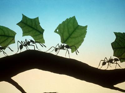 Leaf-Cutting Ants by David M. Dennis