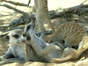 Meerkats, Resting in the Shade, Kalahari by David Macdonald