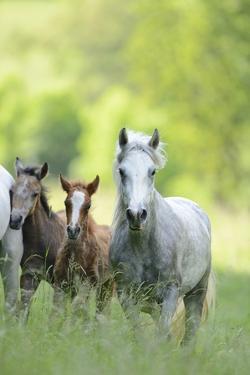 Connemara Pony, Mare with Foal, Belt, Head-On, Running, Looking at Camera by David & Micha Sheldon