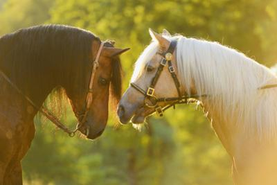 Connemara Pony, Portrait, Stallions, Side View by David & Micha Sheldon
