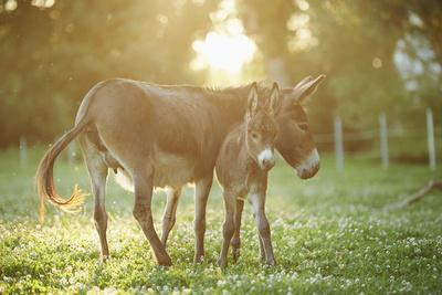Donkey, Equus Asinus Asinus, Mother and Foal, Meadow, Is Lying Laterally