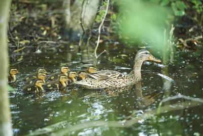 Mallard, Anas platyrhynchos, fledglings, water, sidewise, swim
