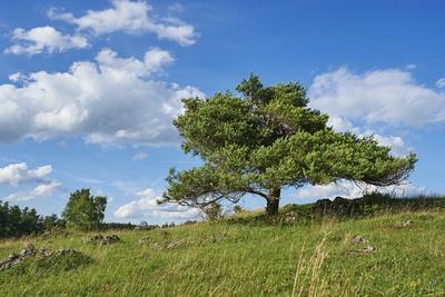Scots pine, Pinus sylvestris, tree