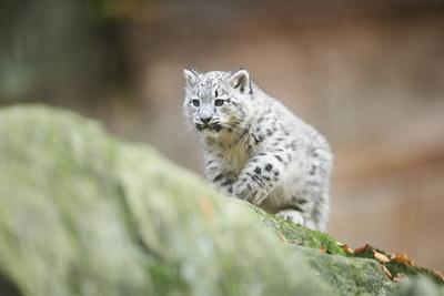 Snow Leopard, Uncia Uncia, Young Animal, Rock, Walking, Frontal