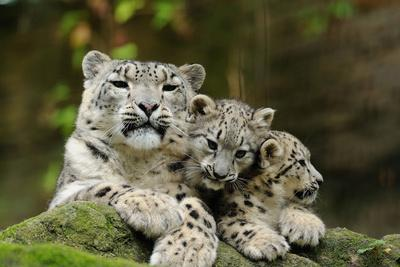 Snow Leopards, Uncia Uncia, Mother with Young Animals