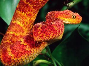 African Bush Viper by David Northcott