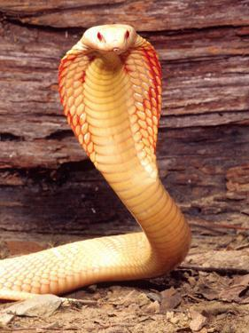 Albino Monocled Cobra, Native to SE Asia by David Northcott
