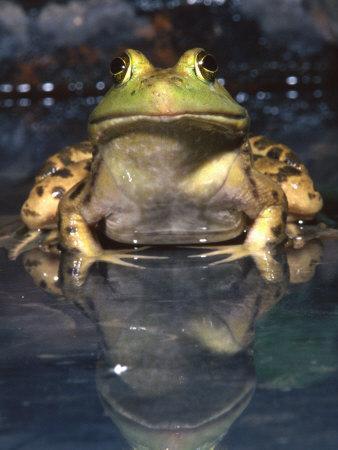 American Bullfrog, Native to USA