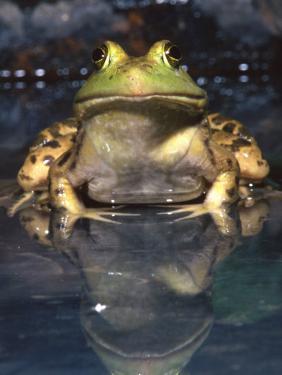 American Bullfrog, Native to USA by David Northcott