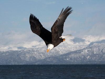 Bald Eagle Diving, Homer, Alaska, USA