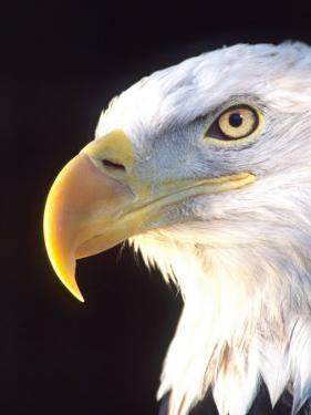 Bald Eagle Portrait, Native to USA and Canada by David Northcott