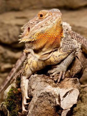 Bearded Dragon, Pogona Vitticeps, Native to Australia by David Northcott