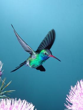 Broad-billed Hummingbird, Arizona, USA by David Northcott