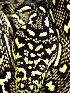 Diamond Python Close-up, Native to Australia by David Northcott