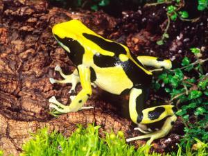 Dyeing Poison Frog, Surinam, Native to Guyana by David Northcott