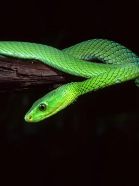 East African Green Mamba by David Northcott