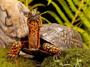 Eastern Box Turtle, Terrapene Carolina, Native to Eastern Coastal Us by David Northcott