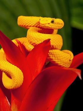 Eyelash Viper, Bothriechis Schlegeli, Native to Southern Mexico into Central America by David Northcott