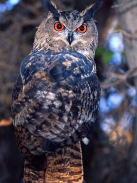 Forest Eagle Owl, Native to Eurasia by David Northcott