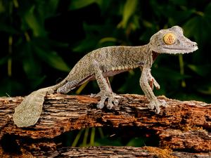 Giant Leaf-Tailed Gecko, Uroplatus Fimbriatus, Native to Madagascar by David Northcott