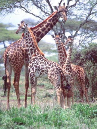 Giraffe Group or Herd with Young, Tanzania