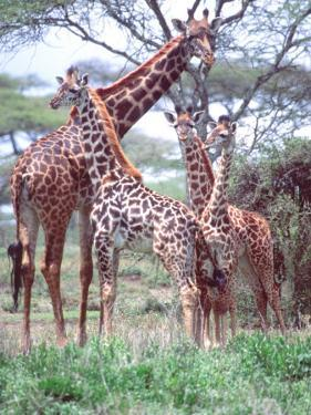 Giraffe Group or Herd with Young, Tanzania by David Northcott