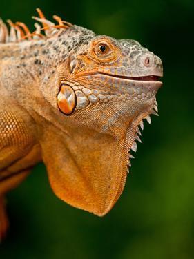 Green Iguana, Iguana Iguana, Native to Mexico and Central America by David Northcott