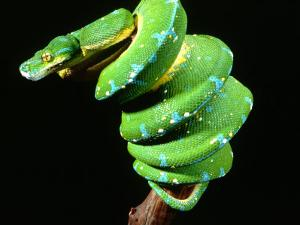 Green Tree Python, Native to New Guinea by David Northcott