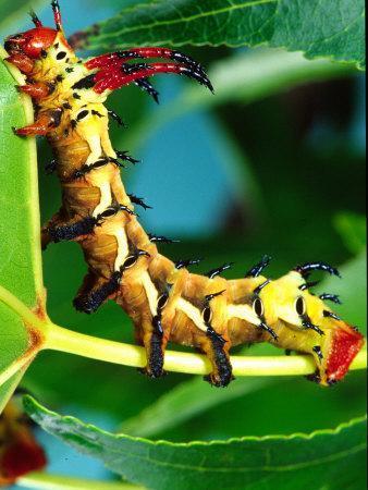 Hickory Horned Devil Caterpillar, USA